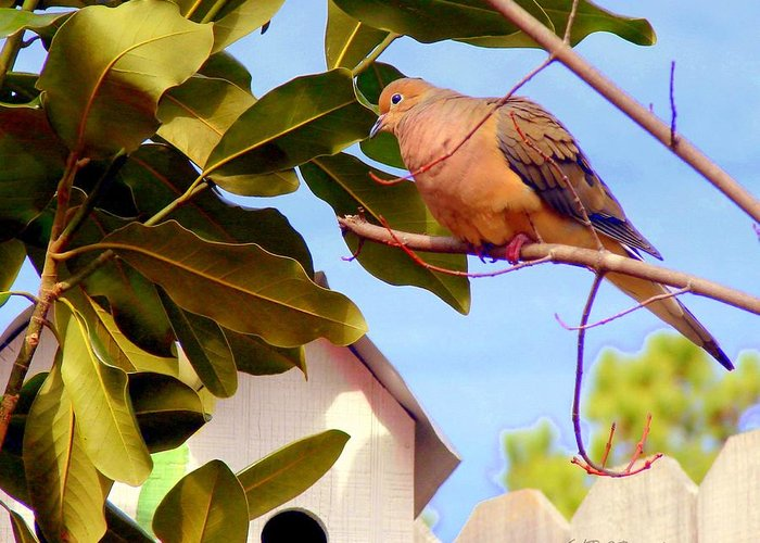 Birds Greeting Card featuring the photograph Darling Dove by Patricia L Davidson