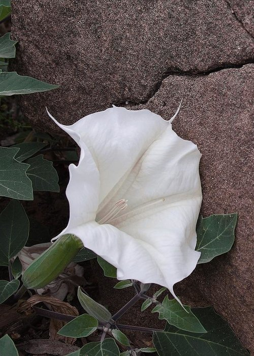 Nature Greeting Card featuring the photograph Datura. Flower by Viktor Savchenko