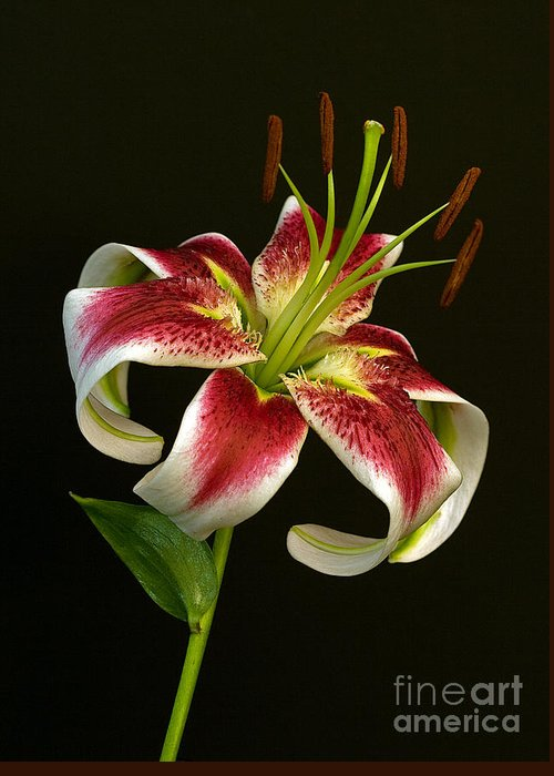 Lilly Greeting Card featuring the photograph Day Lily Majesty by Robert Pilkington