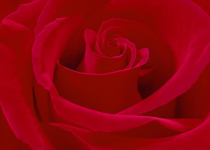 Red Rose Greeting Card featuring the photograph Deep Red Rose by Mike McGlothlen