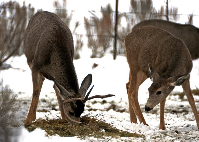 Deer Greeting Card featuring the photograph Deer Couple by Eric Nelson