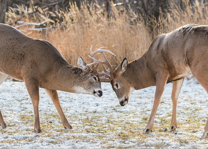 Deer Greeting Card featuring the photograph Deer Fight by Linda Ryma