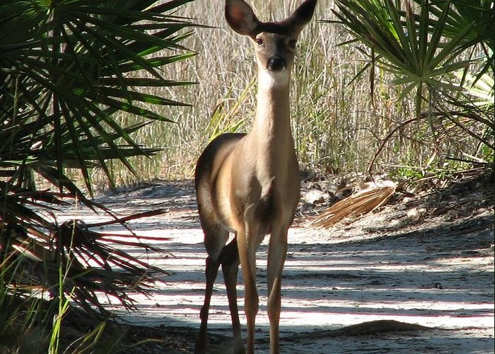 Deer Greeting Card featuring the photograph Deer by J M Farris Photography