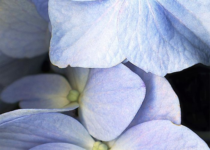 Scanography Greeting Card featuring the photograph Delicate Petals by Deborah J Humphries