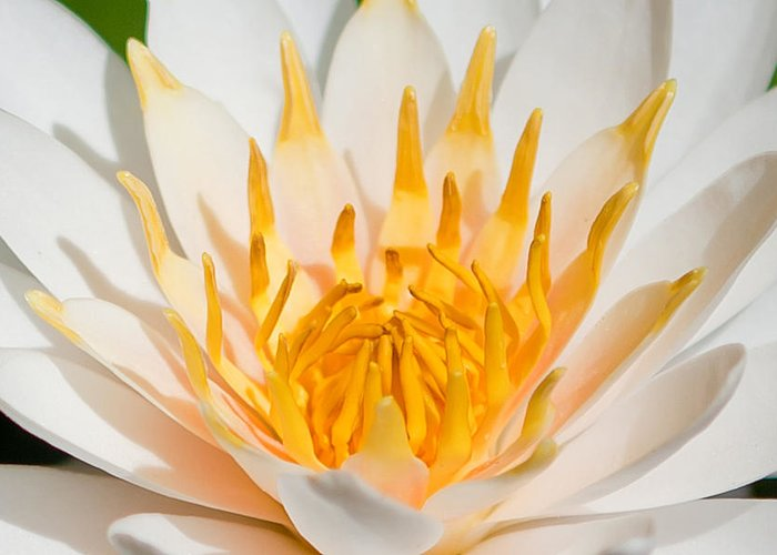 Water Lilly Photographs Greeting Cards