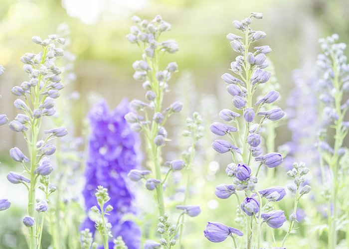 Delphinium Greeting Card featuring the photograph Delphiniums by Mary Angelini