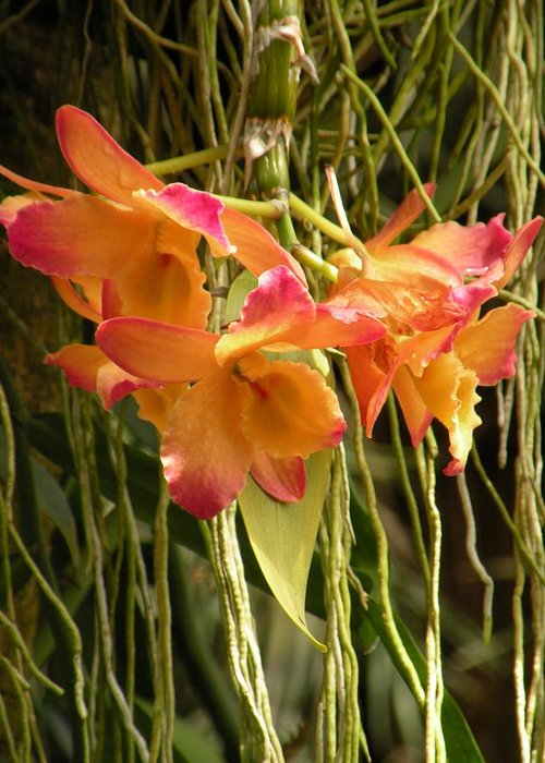 Orchids Greeting Card featuring the photograph Dendrobium Orchids by Rosalie Scanlon