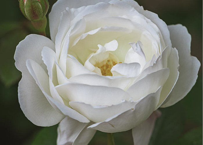 Alnwick Greeting Card featuring the photograph Desdemona Rose 1856 by Teresa Wilson