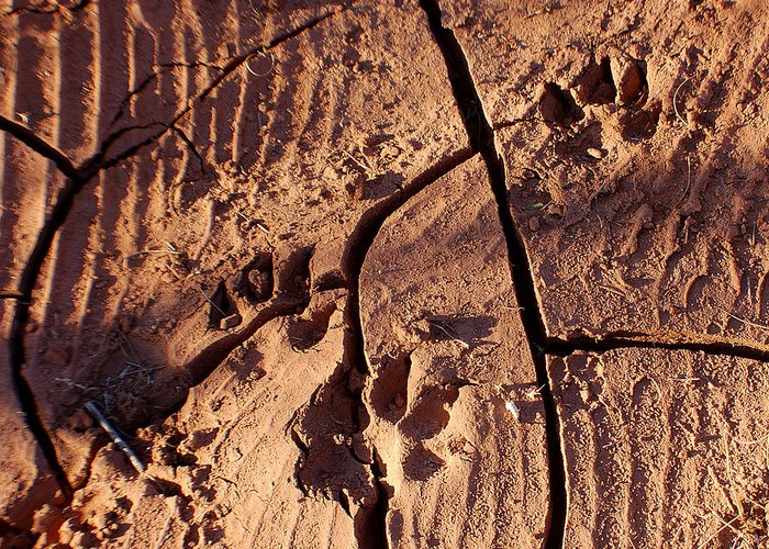 Photography Greeting Card featuring the photograph Desert Paw Prints by Heather S Huston