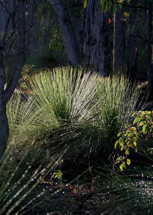 Plant Greeting Card featuring the photograph Dew On A Grass Tree by Tony Brown