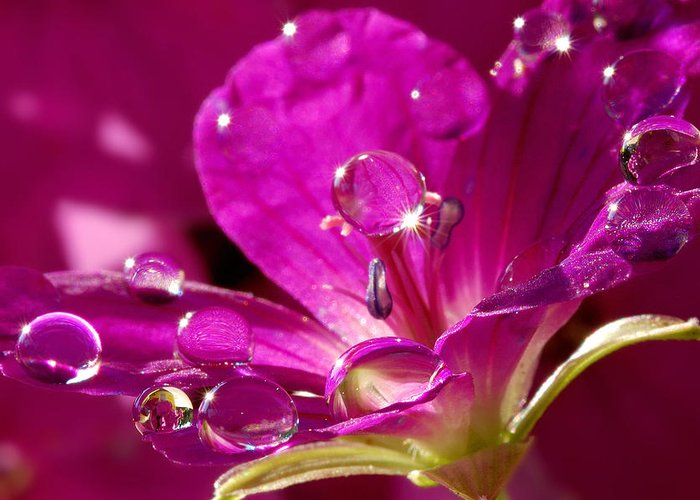 Microcosm Greeting Card featuring the photograph Dew On Pink by Yuri Hope