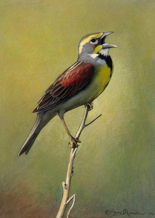 Birds Greeting Card featuring the drawing Dickcissel Summer Song by Bruce Morrison