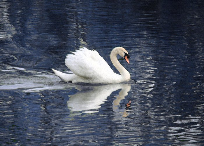 Swan Greeting Card featuring the photograph Digital Watercolor by Nicholas J Mast