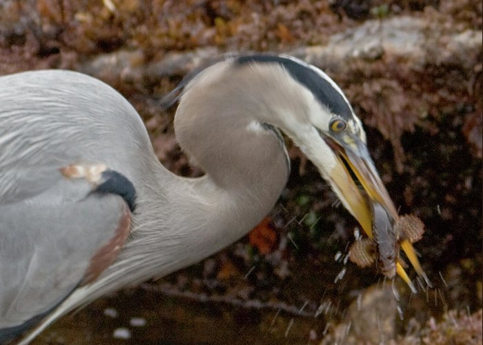 Blue Heron Greeting Card featuring the photograph Dinner's Ready by Nicole Riley