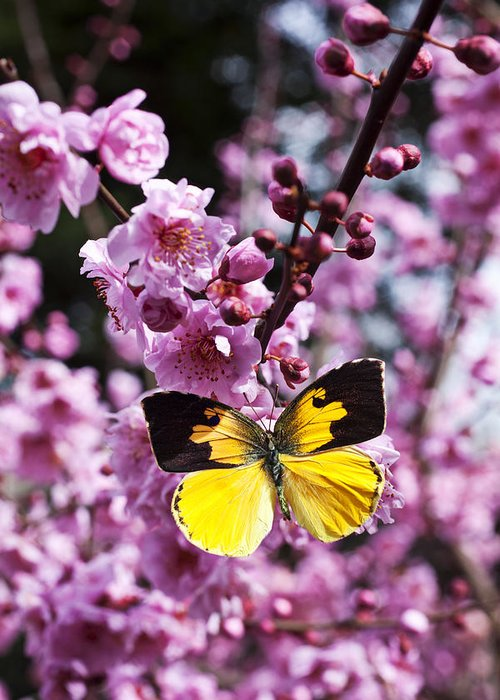 Butterfly Wings Flower Greeting Card featuring the photograph Dogface Butterfly In Plum Tree by Garry Gay