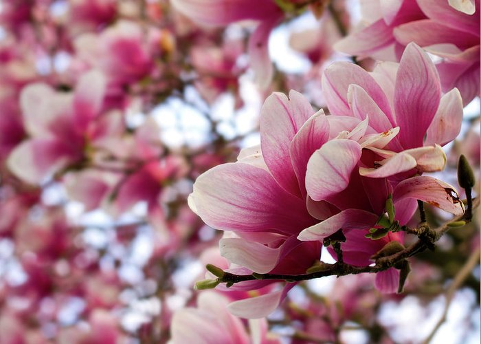 Dogwood Greeting Card featuring the photograph Dogwood Study by Tim Fitzwater