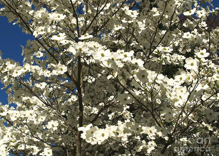 Dogwoods Greeting Card featuring the photograph Dogwoods In Bloom by Chad Kroll