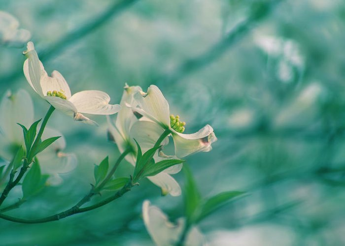Spring Greeting Card featuring the photograph Dogwoods by Rima Biswas