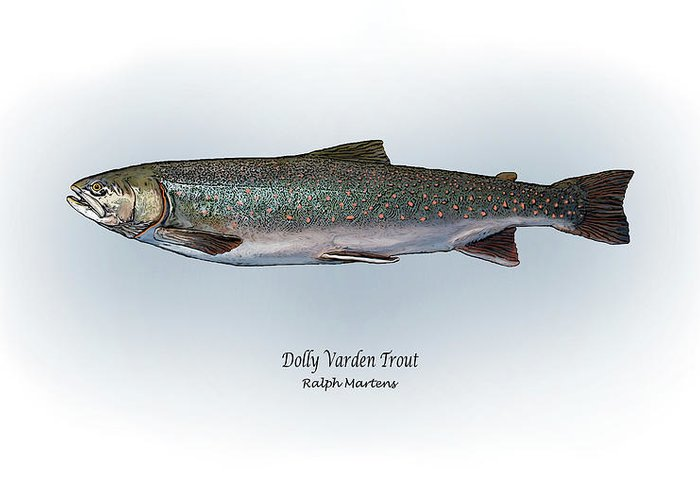 Dolly Varden Trout Greeting Card featuring the painting Dolly Varden Trout by Ralph Martens