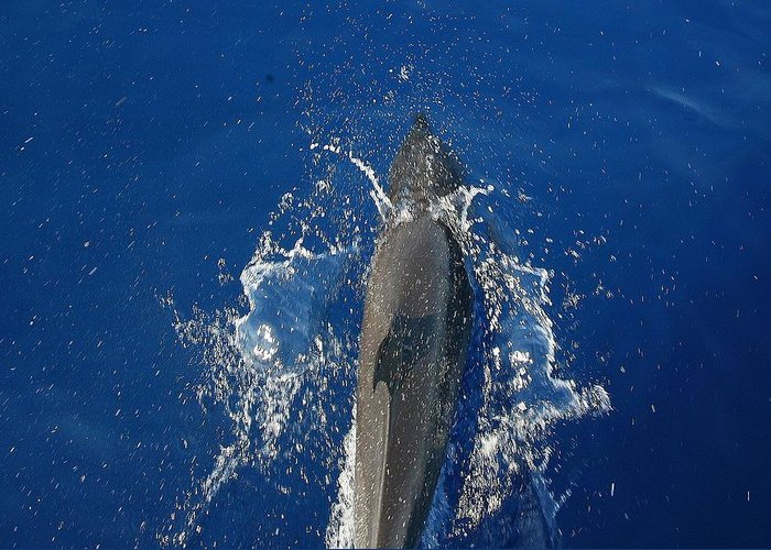 Dolphin Greeting Card featuring the photograph Dolphin by J R Seymour