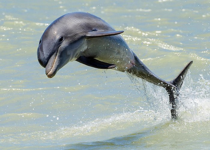 Dolphin Greeting Card featuring the photograph Dolphin by Wade Aiken
