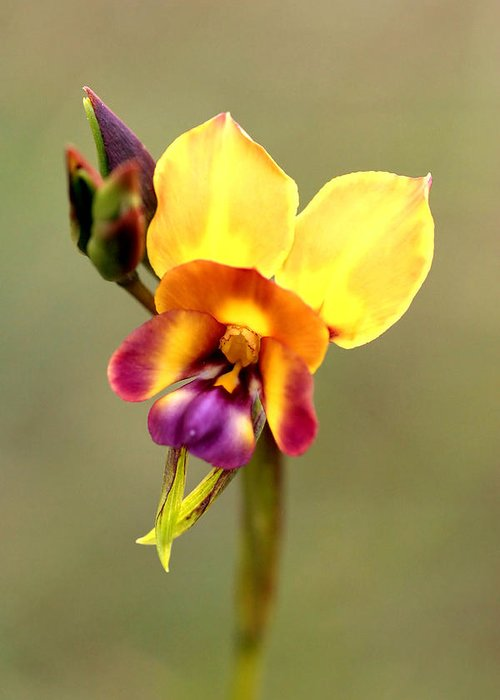 Flower Greeting Card featuring the photograph Donkey Orchid by Tony Brown