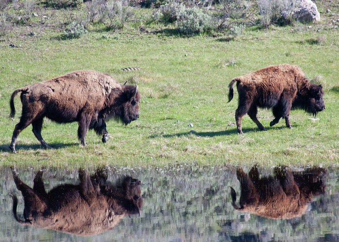 Bison Greeting Card featuring the photograph Double Date by Katie LaSalle-Lowery