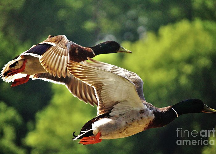 Duck Greeting Card featuring the photograph Double Green Heads In Flight by Laura Birr Brown