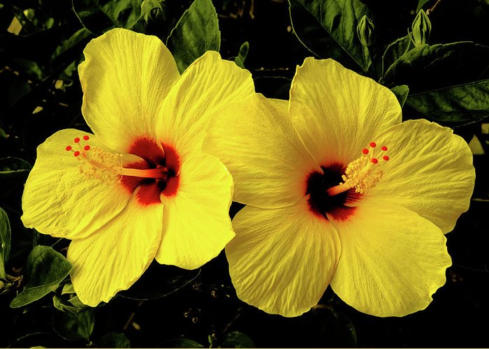 Flowers Greeting Card featuring the photograph Double Hibiscus by Alan Hart
