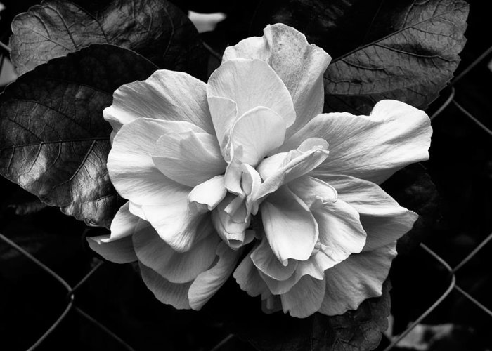 Double Hibiscus Flower Black White Print Greeting Card For Sale By
