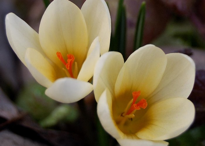 Springtime's Greeting Card featuring the photograph Double Vision by Steven Milner