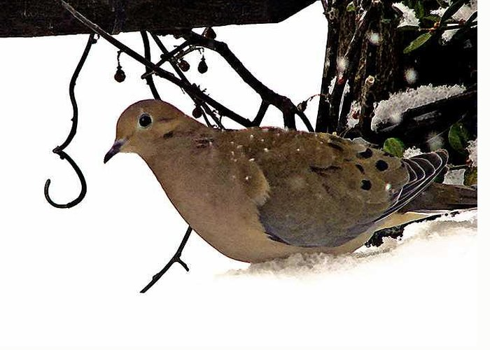 Dove Greeting Card featuring the photograph Dove by Linda Carroll