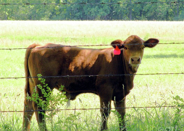 Cattle Greeting Card featuring the photograph Down Home by Christine Belt