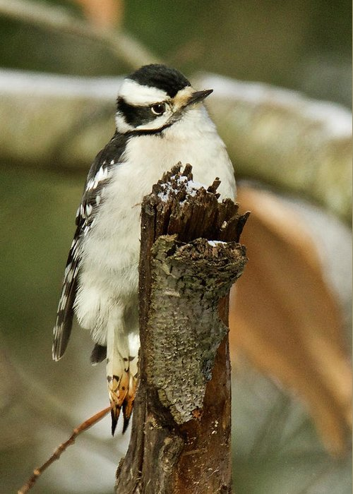 Female Greeting Card featuring the photograph Downey Woodpecker Female 4417 by Michael Peychich