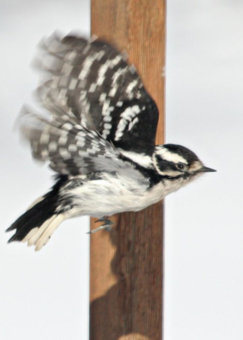 Bird Greeting Card featuring the photograph Downy Woodpecker In Flight by Laurie With