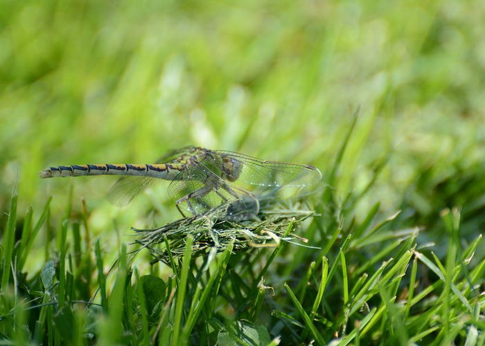 Dragon Fly Greeting Card featuring the photograph DragonFlly in the park by Paulina Roybal