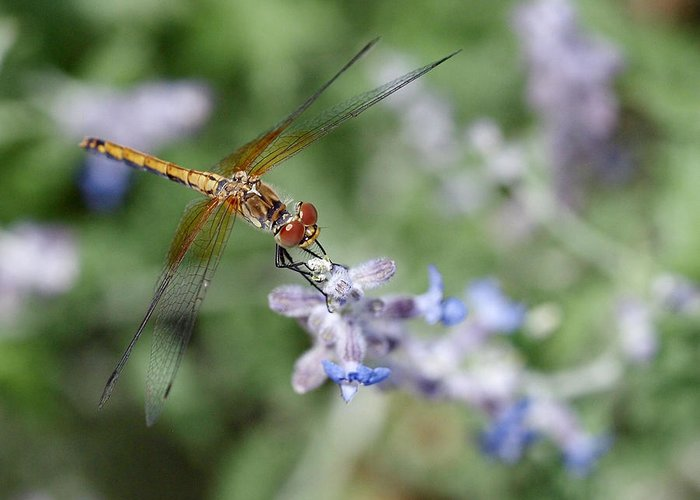 Dragonfly Greeting Card featuring the photograph Dragonfly In The Lavender Garden by Rona Black