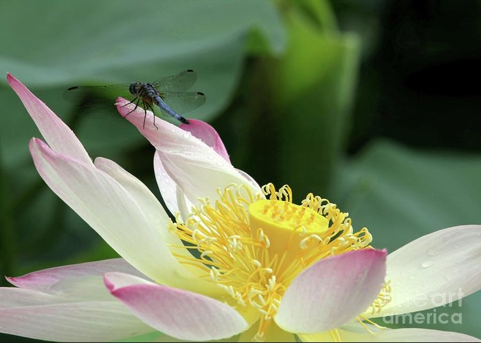 Lotus Greeting Card featuring the photograph Dragonfly On Lotus by Sabrina L Ryan