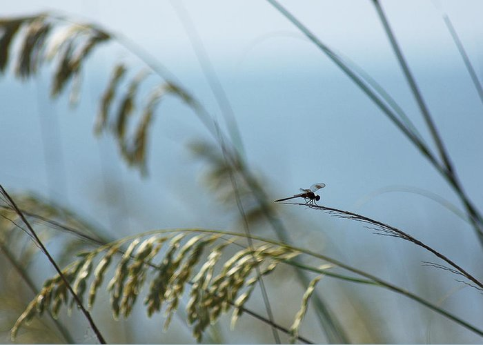 Dragonfly Greeting Card featuring the photograph Dragonfly On Sea Oats by Robert Suits Jr