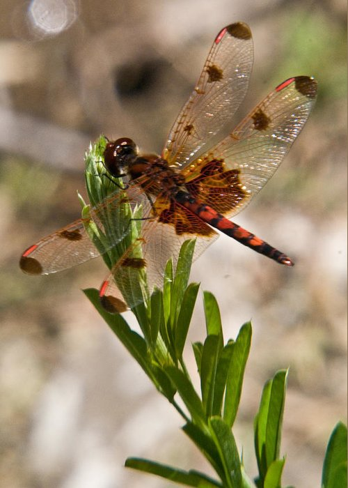 Dragonfly Greeting Card featuring the photograph Dragonfly Resting 2 by Douglas Barnett
