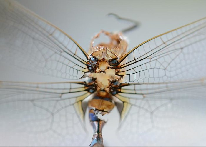 Macro Greeting Card featuring the photograph Dragonfly skeleton by Paulina Roybal