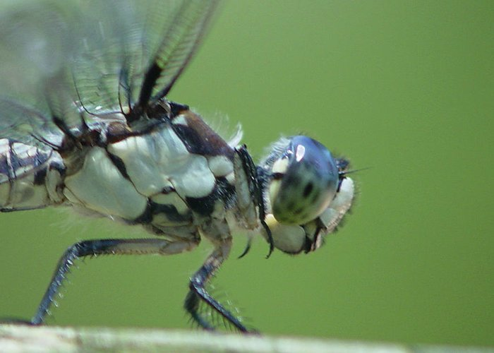 Dragonfly Greeting Card featuring the photograph Dragonfly by Tina B Hamilton