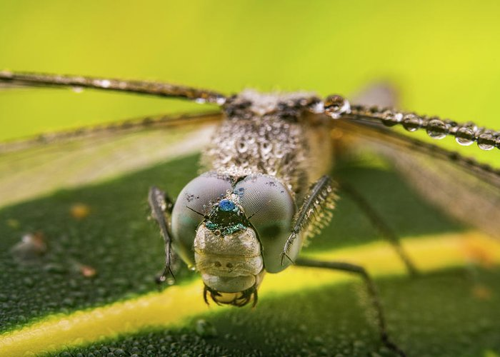 Action Greeting Card featuring the photograph Dragonfly Wiping Its Eyes by William Freebilly photography