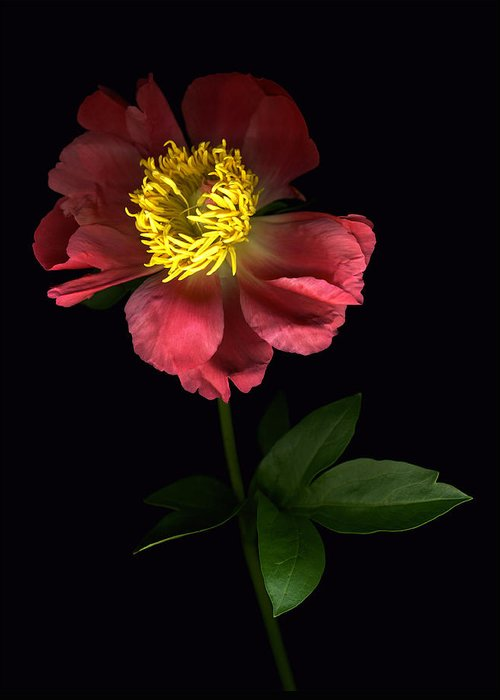 Scanography Greeting Card featuring the photograph Dramatic Peony by Deborah J Humphries