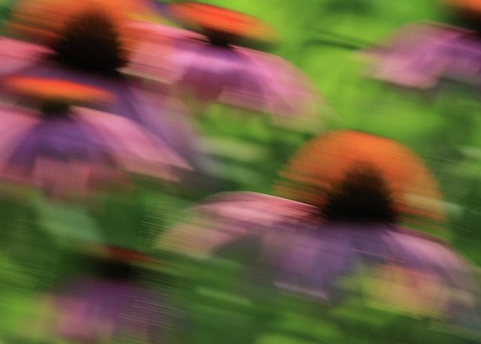 Coneflowers Greeting Card featuring the photograph Dreaming Of Flowers by Karol Livote