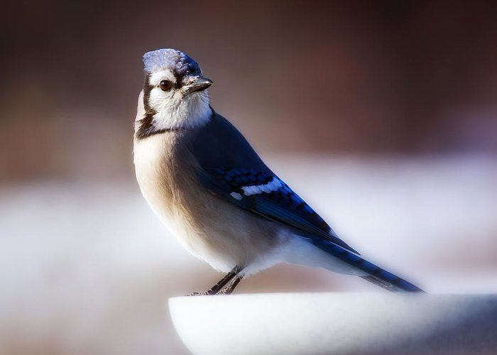 Bird Greeting Card featuring the photograph Dreamy Blue Jay by Al Mueller