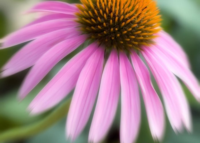Purple Greeting Card featuring the photograph Dreamy Coneflower by Jeannie Burleson