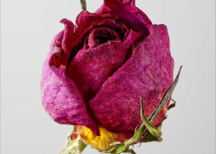 Rose Greeting Card featuring the photograph Dried Rose 4 by Robert Ullmann