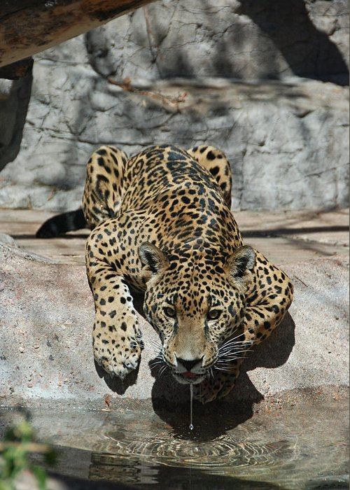 Jaguar Greeting Card featuring the photograph Drinking Jaguar by Katherine Nutt