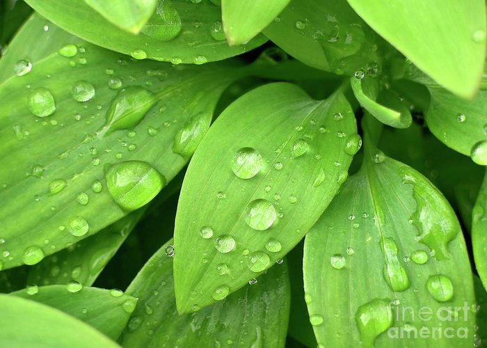 Allergy Greeting Card featuring the photograph Drops On Leaves by Carlos Caetano